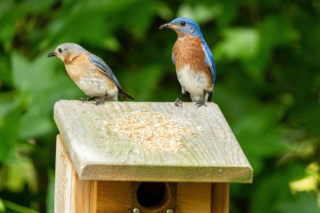 eastern bluebird, bluebird mated pair, bluebird male and female
